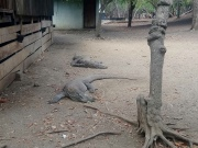 Komodo dragons on Rinca Island